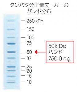 タンパク分子量マーカーのバンド分布